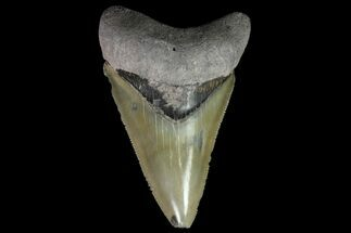 "Buy Serrated, 3.10"" Bone Valley Megalodon Tooth - Florida - #84172"
