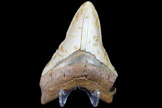 "Bargain, 5.01"" Megalodon Tooth - North Carolina For Sale, #83993"