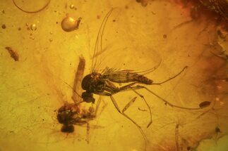 Buy Two Fossil Flies (Diptera) In Baltic Amber - #84619