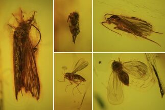 Order Diptera (Fly), Order Trichopterae (Caddisfly) & Class Colembolla (Springtail)  - Fossils For Sale - #84648