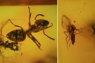 Detailed Fossil Sandfly and Ant In Baltic Amber For Sale, #84659