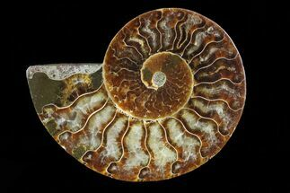 Cleoniceras - Fossils For Sale - #83847