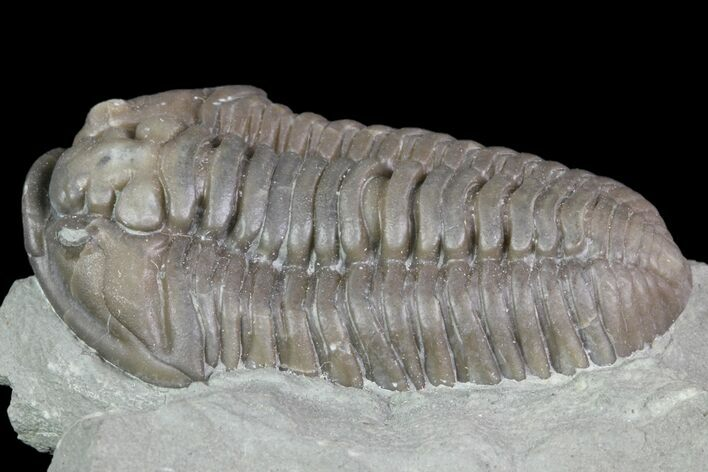 "1.4"" Inflated Flexicalymene Trilobite - Mt. Orab, Ohio"