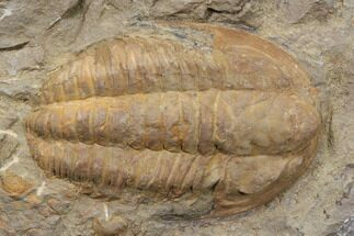 "Buy 2.8"" Orange Hamatolenus Trilobite - Tinjdad, Morocco - #85207"