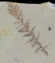 Metasequoia (Dawn Redwood) - Fossils For Sale - #85731