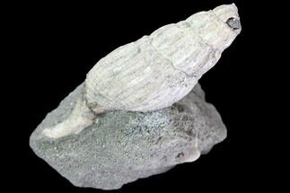 Drilluta communis - Fossils For Sale - #86220