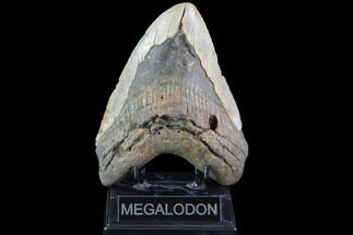 "Buy Bargain, 6.14"" Fossil Megalodon Tooth - Huge!!! - #86503"