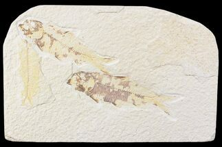 Three Knightia Fossil Fish - Wyoming For Sale, #85481