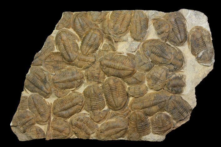 "35"" Plate Of Large Asaphid Trilobites - Spectacular Display"