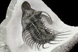 "4"" New Trilobite Species (Affinities to Quadrops) - Very Large! - #86535-1"
