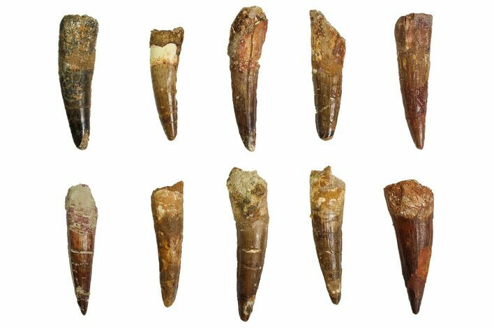 "Wholesale Lot: 2.5-3.5"", Bargain Spinosaurus Teeth - 10 Pieces"
