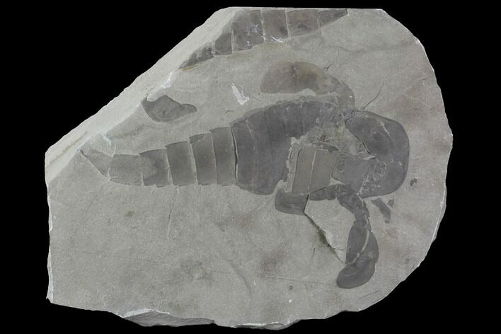 "5.4"" Eurypterus (Sea Scorpion) Fossil - New York"