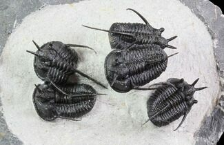 "Buy ""Devil Horned"" Cyphaspis Walteri Trilobite Cluster - #86842"