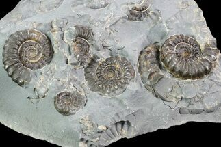 "2.8"" Ammonite (Promicroceras) Cluster - Somerset, England For Sale, #86261"