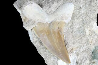 "2.4"" Otodus Shark Tooth Fossil In Rock - Eocene For Sale, #87017"