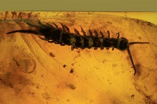 Buy Detailed Fossil Centipede (Chilopoda) In Baltic Amber - Rare! - #87112