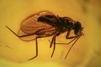 Buy Large, Detailed Fossil Fly (Diptera) In Baltic Amber  - #87214