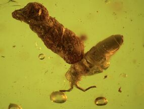 Detailed Fossil Springtail (Collembola) & Coprolite In Baltic Amber For Sale, #87125