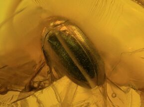 Buy Detailed Fossil Beetle (Coleoptera) In Baltic Amber - #87127
