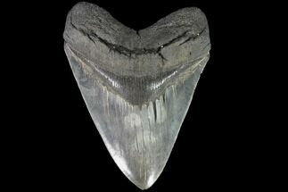 "Buy Serrated, 6.18"" Fossil Megalodon Tooth - 50+ Foot Shark - #87349"