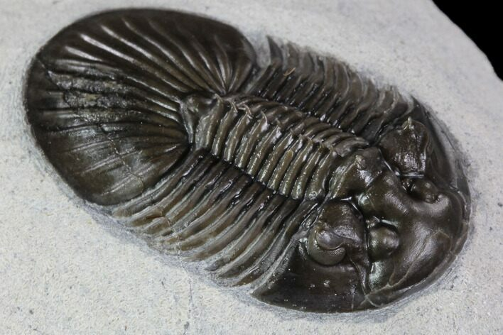 "1.35"" Scabriscutellum Trilobite - Tiny Axial Spines & Eye Facets"