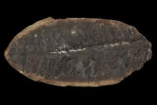 "3.4"" Pecopteris Fern Fossil - Mazon Creek For Sale, #87509"