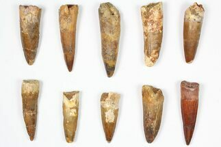 "Buy Wholesale Lot: 1.5-2.5"", Bargain Spinosaurus Teeth - 10 Pieces - #87838"