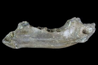 "2.5"" Partial Didelphodon Jaw - Cretaceous Marsupial Mammal For Sale, #87941"