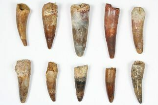 "Wholesale Lot: 1.5-2.5"", Bargain Spinosaurus Teeth - 10 Pieces For Sale, #87854"