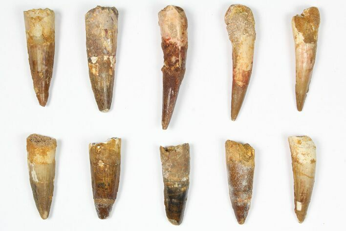 "Wholesale Lot: 1.5-2.5"", Bargain Spinosaurus Teeth - 10 Pieces"