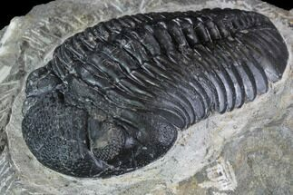 "3.15"" Pedinopariops Trilobite - Mrakib, Morocco For Sale, #88196"