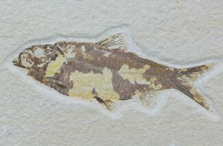 "Buy Bargain, 4.4"" Fossil Fish (Knightia) - Wyoming - #88585"