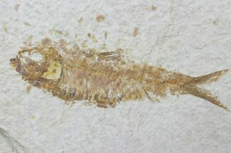 "Bargain, 4.7"" Fossil Fish (Knightia) - Wyoming For Sale, #88544"