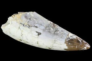 "Large, Serrated, 1.67"" Fossil Phytosaur Tooth - Arizona For Sale, #88601"
