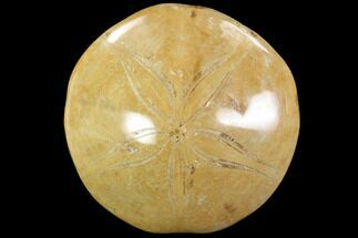 "Buy 2.5"" Polished Fossil Sand Dollar (Pygurus) - Jurassic - #88369"