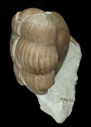 "2.5"" Enrolled Illaenus Oculosus Trilobite - Russia (Reduced Price)"