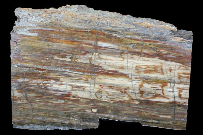 "12"" Polished Madagascar Petrified Wood Slab - Madagascar"