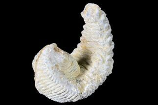 Rastellum carinatum - Fossils For Sale - #88488