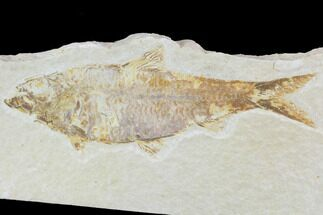 "4.5"" Detailed Fossil Fish (Knightia) - Wyoming For Sale, #88574"