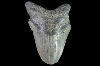 "Buy Partial, 3.48"" Fossil Megalodon Tooth  - #89002"