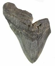 "Buy 5.21"" Partial Fossil Megalodon Tooth - #89026"