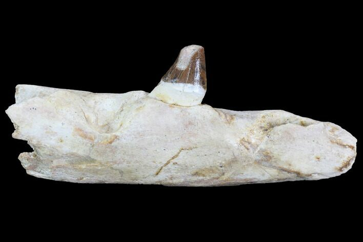 "5"" Archaeocete (Primitive Whale) Jaw Section - Basilosaur"