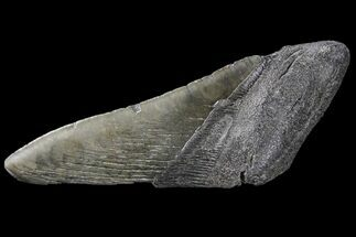 "5.5"" Partial Fossil Megalodon Tooth For Sale, #89435"