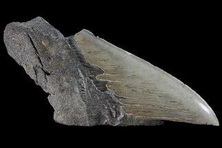 Carcharocles megalodon - Fossils For Sale - #89457