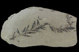 Buy Metasequoia (Dawn Redwood) Fossil - Montana  - #89386