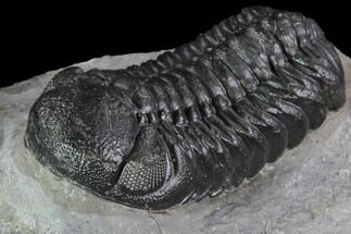 "2.25"" Detailed Austerops Trilobite - Ofaten, Morocco For Sale, #89519"