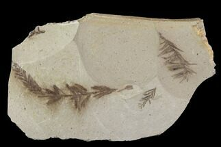 Metasequoia (Dawn Redwood) - Fossils For Sale - #89394