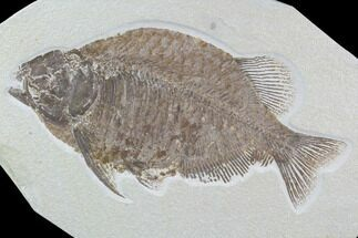 "12.7"" Fossil Fish (Phareodus) - Wyoming For Sale, #89636"