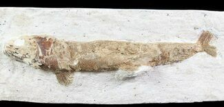 "Buy 8.7"" Lower Turonian Fossil Fish - Goulmima, Morocco - #76396"