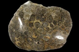 Hexagonaria sp. - Fossils For Sale - #90255